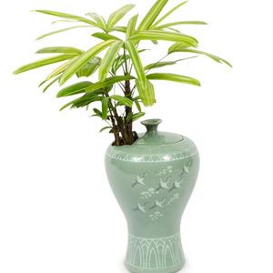 관엽식물(서황금)ft-8023