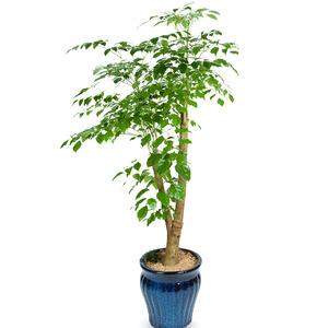 관엽식물(녹보수) ft5016 (높이 80~100cm)