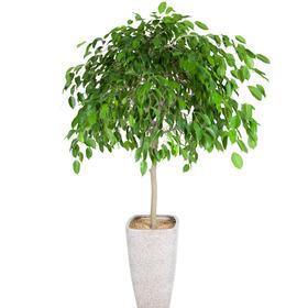 관엽식물(킹벤자민) ft5000 (높이 90~110cm)