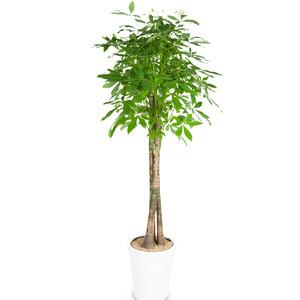 관엽식물(파키라) ft5033 (높이 80~100cm)