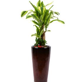 관엽식물(행운목) ft5026 (높이 80~100cm)