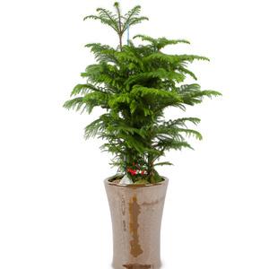 관엽식물(아라오카리아) ft5029 (높이 80~100cm)