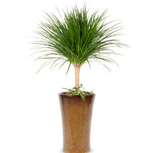 관엽식물(드라코나) ft5024 (높이 80~100cm)