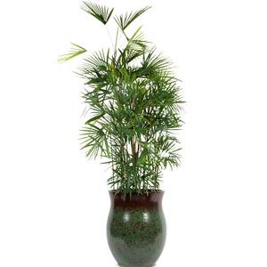 관엽식물(종려죽) ft5005 (높이 120~160cm)