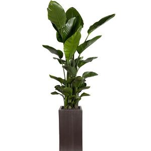 관엽식물(극락조)ft5697