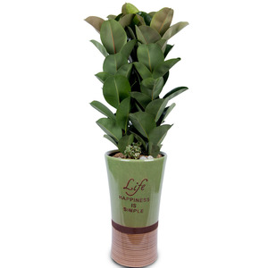 관엽식물(고무나무) ft5023 (높이 80~100cm)