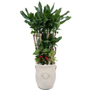 관엽식물(황금죽)ft5023