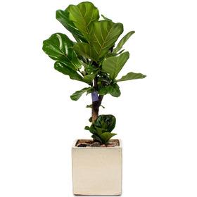 관엽식물(떡갈고무나무)ft5098