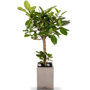 관엽식물(뱅갈고무나무) ft-5075 (높이 80~100cm)