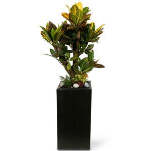 관엽식물(크로톤) ft5031 (높이 90~100cm)
