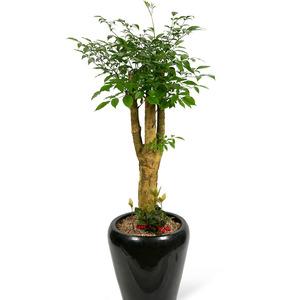 관엽식물(해피트리) ft5030