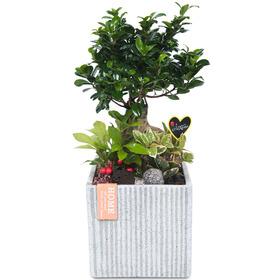 관엽식물(인삼펜다) ft5020