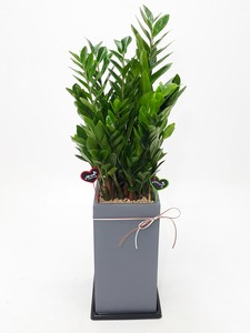 관엽식물(금전수) ft-5071 (높이 80~100cm)