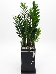 관엽식물(금전수) ft-5072 (높이 80~100cm)