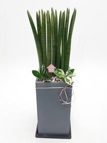 관엽식물(스투키) ft5035 (높이 80~100cm)