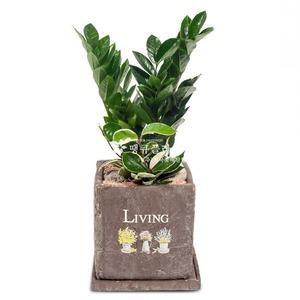 관엽식물(금전수) ft5039