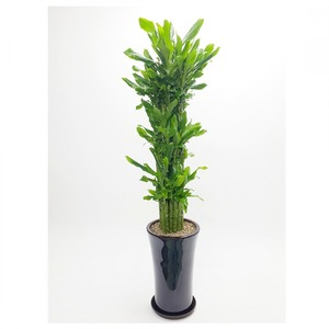 관엽식물(황금죽) ft5050 (높이 90~110cm)
