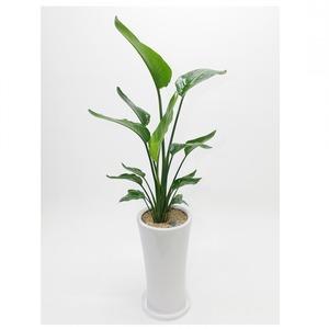 관엽식물(극락조) ft5058