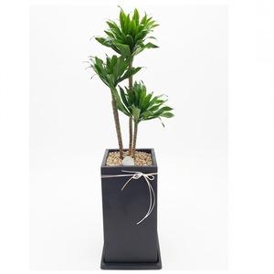 관엽식물(콤펙타) ft5061 (높이 80~100cm)