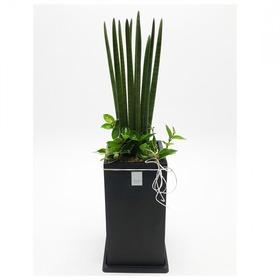관엽식물(스투키) ft5062