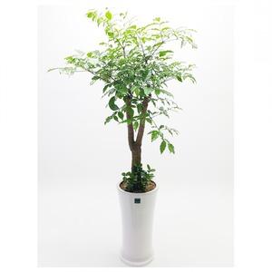 관엽식물(해피트리) ft5063 (높이 80~100cm)